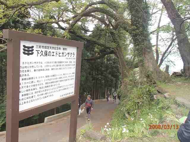 Higansakura_r
