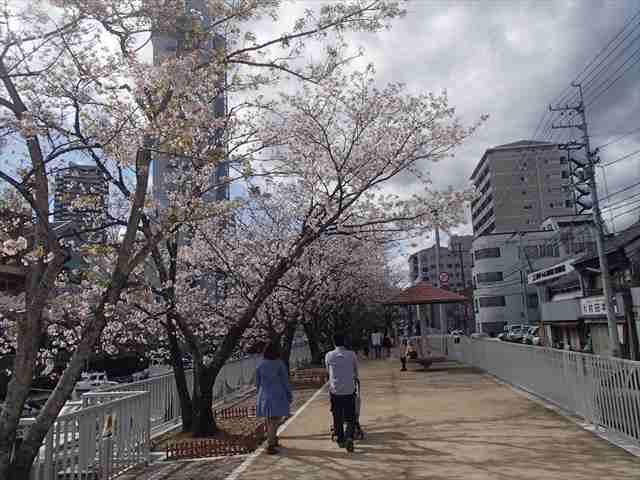 Horikawasakura1_r