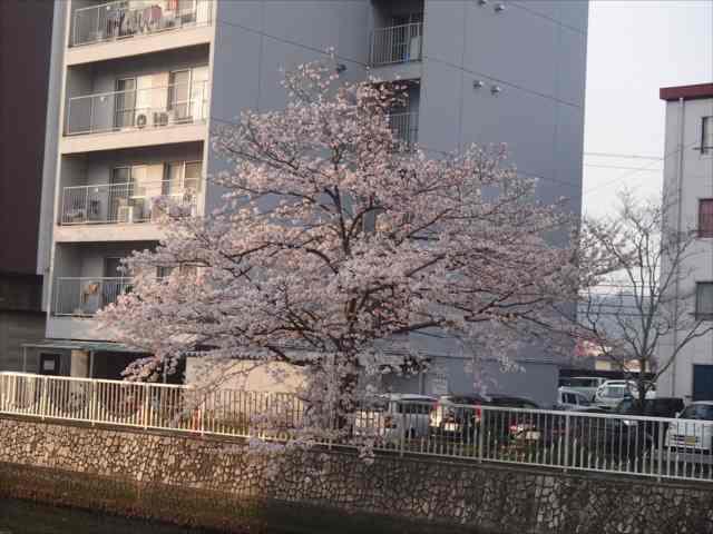 Sakura1_r